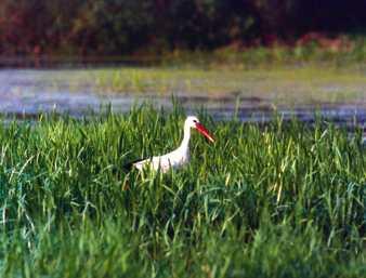 Podmokłe łąki to idealne miejsce na bocianie łowy; Fot. Przemysław Szymoński