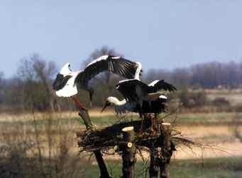 Długo oczekiwane wiosenne przyloty często kończą się bójką; Fot. Przemysław Szymoński