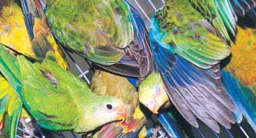 Papugi handlowane nielegalnie